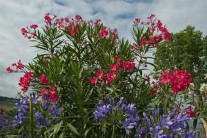 Oleander1